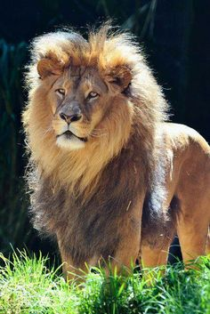 Lion..the sun and a lion make a stunning pic anytime