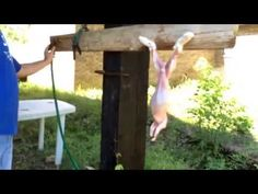 GRAPHIC...butcher day...how to dispatch and process a meat rabbit...GRAPHIC. - YouTube