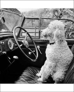 VIEW OF A CAR SHOWING A POODLE, PROBABLY CALLED BAKER WHITE, SITTING IN THE DRIVER'S SEAT. Photographed by John Gay. Date range: 1946-1959.