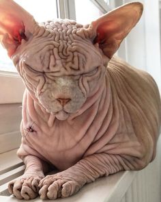 Hairless skin, wrinkles from head to toe, a judgemental frown, and a cold stare that pierces your soul—this is what has won Xherdan the naked cat the title of world's scariest cat. Unique Animals, Cute Animals, Sphynx Cat, Hairless Cats, Scary Cat, Turquoise Eyes, Devon Rex, Love At First Sight, Very Lovely