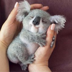 via @insta_animall 🐨 What would YOU name him?! . Sweet baby koala dreams 🌙 ✨ By @woolclub #BestVacations