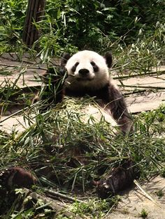 Volunteer with GoEco in China - Can you find the giant Panda?
