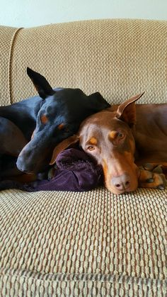 Appollo meets Paulie (redhead) Day 1 adopted from Doberman rescue in Minneapolis http://ift.tt/2oHbtZo