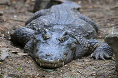 10. Crocodiles - 1,000 deaths a year Crocodiles are now considered the large…