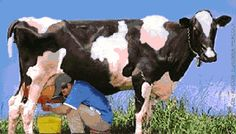 Ordeñando una vaca