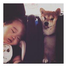 「Stuck shiba ⇨ @nako7354 ⇦ 挟まりながらも子守してくれる優しいイナリちゃん # #stuck #stuckshiba #べぇ #」