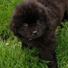 I want another newfie one day. best dogs ever.