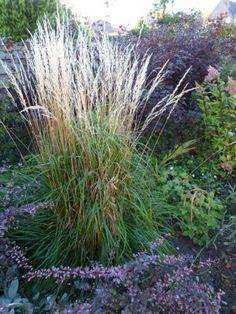 """Das Reitgras """"Karl Foerster"""" (Calamagrgrostis x acutifloral) hält den Herbst-Stürmen hier im Norden lange stand!"""