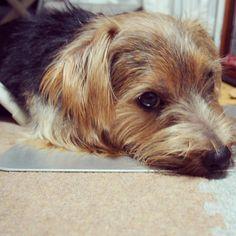 #dog#norfolkterrier#lovedog#nature#terrierstagram#pets#hound#doglover#animals#puppy#puppies#happy_pet#adorable#instadog#animallovers#love#picpets#dailydog#dogs_of_world#puppiesofinstagram#hounds#dogs#petsofinstagram#woof_tastic#doggie#norfolkterriersofinstagram#dogslife