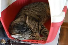 Kaninchenfan Lucky - Mein Kaninchenloch: Schnucki is sleeping in his transport box (^.^) now he love it, the next time we go to the doc he will hate it (^_~)  #cats #katzen #neko #pets #haustiere  http://kaninchenfanlucky-meinkaninchenloch.blogspot.de/2014/06/schnucki-is-sleeping-in-his-transport.html