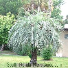 """Pindo Palm Butia capitata The silvery pindo palm gives home landscaping a classy, Old Florida look...and you can eat the fruit. Striking in appearance, the pindo's feather-leaf, silver-colored fronds (some call it more of a blue-green) create an outstanding contrast to a typical yard's greenery. A native plant sometimes called """"Jelly Palm,"""" the pindo produces edible berries that can be made into jelly with a sweet banana/pineapple flavor."""