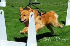 BTR in Calif June '13 Flyball Dog Tournaments