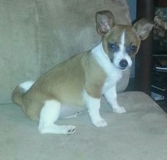 """Pomeranian/Jack Russell mix """"roody"""""""