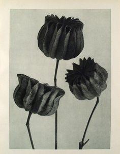Karl Blossfeldt, Abutilon theophrasti, 1929