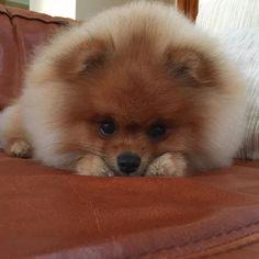 Boa noitinha, pessoAU! Good night, fluffy friends! . . #pom #pomeranian…