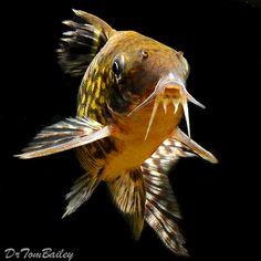 Corydoras - Aquarium Catfish - pictures, Care, Feeding, Food, Diet ... Animals Live In Water, Aquarium Pictures, Aquarium Ideas, Tropical Fish Aquarium, Fish Aquariums, Cory Catfish, Aquarium Catfish, Monster Fishing, Fish Breeding