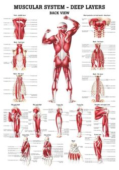 The Muscular System - Deep Layers, Back Laminated Anatomy Chart (Tight Psoas Si Joint)This muscular system chart shows in detail the deep layers of muscle on the front of your body. More specifically, this beautifully illustrated anatomy chart includ Anatomy Models, Human Anatomy And Physiology, Body Anatomy, Muscle Chart Anatomy, Neck Muscle Anatomy, Hand Anatomy, Anatomy Drawing, Ab Workout At Home, Boxing Workout