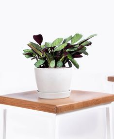 6421cc6c9 Buy Potted Bloomscape Fishbone Prayer Plant