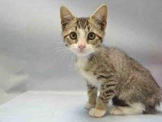 """SAINT - A1091521 - - Brooklyn   ***TO BE DESTROYED 10/08/16*** SAINT HAS DONE NOTHING WRONG…SO HOW DOES THIS 10 WEEK OLD END UP IN A PLACE LIKE THIS? There are many answers including, IRRESPONSIBLE owners who don't SPAY/NEUTER their pets, MORE IRRESPONSIBLE owners that leave their unwanted pets at the ACC and make society """"take care"""" of the problem. Couple that with a shelter, who has a needle ready for each cat, seconds before the noon deadline and"""
