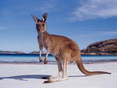 Darwin Australia-kangaroo-beach