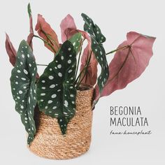 Houseplants Begonia Maculata fake plant with spotted leaves, also known as 'Polka Dot' Begonia. Fake Plants Decor, House Plants Decor, Real Plants, Plant Decor, Snake Plant Care, Begonia Maculata, Plants Are Friends, Pink Plant, Artificial Plants