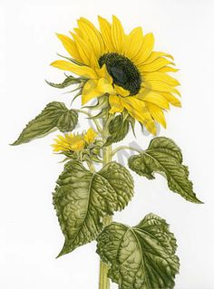 ANN SWAN contemporary botanical art, coloured pencil artist, limited edition giclee and offset litho prints, greetings cards and workshops. For home, hotel and restaurant interior design and decor.