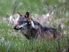 Der Kanton Wallis dehnte am Donnerstag den Perimeter für die Abschussbewilligung eines Wolfes in der Augstbordregion auch auf die bewirtschafteten Alpen aus.…