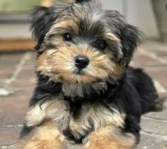 Maltese Yorkie Mix, Morkie Puppies, Cute Puppies, Cute Dogs, Dogs And Puppies, Chihuahua, Yorkies, Pyrenees Puppies, Poodle Puppies