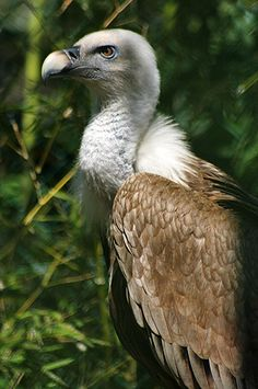 Griffon Vulture (Gyps fulvus) is a large Old World vulture in bird of prey family Accipitridae. it is typical in appearance, with a very white head, very broad wings & short tail feathers. It has a white neck ruff & yellow bill. The buff body & wing coverts contrast with dark flight feathers. It establishes nesting colonies in cliffs that are undisturbed by humans while coverage of open areas & availability of dead animals within dozens of kilometers of these cliffs is high.