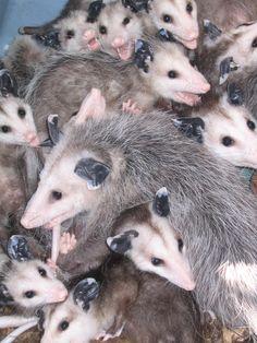 Opossum Pile