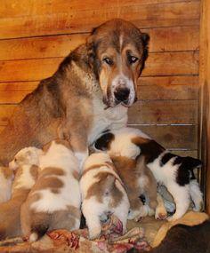 Фото, автор zevet2009 на Яндекс.Фотках Alabai Dog, Japanese Snacks, Shepherd Dog, Big Dogs, Dog Lovers, Corgi, Asian, Puppies, Fluffy Animals