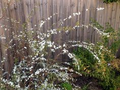 Spirea at Imbolc.