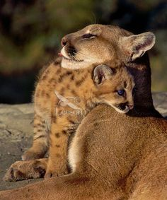 Puma/ mountain lion/ cougar [me as a mami. Small Wild Cats, Big Cats, Cats And Kittens, Cute Cats, I Love Cats, Animals And Pets, Baby Animals, Cute Animals, Beautiful Cats