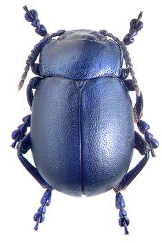 Beetle, Chrysolina nikolskyi, M.E. Smirnov