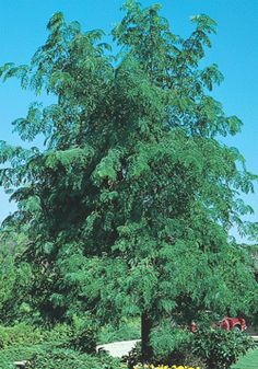 HONEYLOCUST  Skyline  Gleditsia triacanthos var. inermis 'Skycole' PP1619  Height:40-50'  Spread:30-40'  Fruit:Seedless  Foliage:Fine textured, bright green leaves, turning yellow in fall  Shape:Broad, pyramidal habit with ascending branches  Growth Rate:Rapid (more than 2' per year)  Soil:Does well in most conditions.  Addit'l Info:  Open branches allows sunlight through canopy where only filtered shade is desired. Tolerant of adverse conditions, including salt and drought…