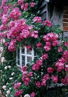 Climbing pink roses by a window