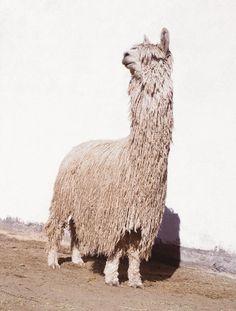 Alpaca Suri