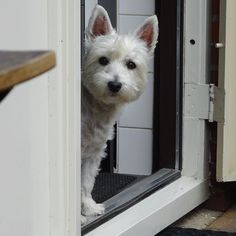 I heard some suspicious noises in the backyard so I immediately started my #WestiePatrol..  All appears to be fine except for a annoying #pawparazzi who's hiding in my backyard like usual.. I'm watching you Dad!   #instawestie #westhighlandterrier #westhighlandwhiteterrier #whwt #westie #westies #westiegram #westiesofinstagram #westielove #westielovers #westiesarethebest #westiesarethebesties #westielife #westiebestie #westieoftheday #westiemoments #westielover #westiesofig #westitude…