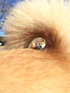 pduu: dokuroou: シヴァ犬 may 二次元裏@ふたば dog portal