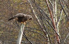 Buzzard Fort William, Buzzard, Inverness, Bald Eagle, Wildlife, Breakfast, Bed, Morning Coffee, Stream Bed