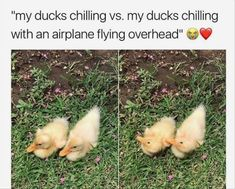 My Ducks