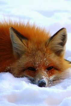 Playful Red Fox in Winter