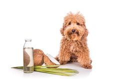 Coconut oil seems to have appeared from out of nowhere in recent years. Now it has become a domestic necessity for many people. It has a huge range of benefits it can offer us as human beings; A healthy replacement to regular oil, strengthening the hair and skin repair. What we have also learned is that dogs can benefit from coconut oil as well! Continue reading to find out how coconut oil can be used to enhance the health of your dogs. It soothes their skin Coconut oil acts as a soothing and mo