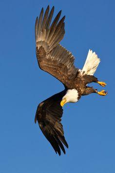 Fotos Wallpaper, Eagle Wallpaper, Eagle Images, Eagle Pictures, Exotic Birds, Colorful Birds, Birds Of Prey, Nicolas Vanier, Types Of Eagles