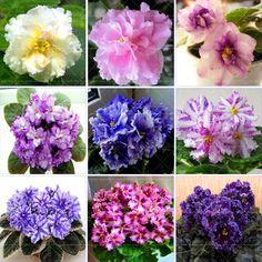 100ピース美しい植物盆栽フラワー種子、アフリカバイオレット種子庭の植物バイオレット花多年生ハーブ