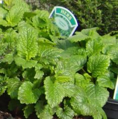 Over-wintering Lemon Balm (Melissa officinalis) As A Refreshing Culinary Herb
