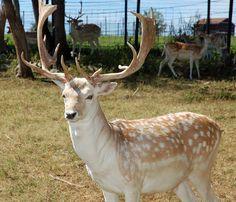 Fallow Deer Fallow Deer, My Favorite Image, Antlers, Horns, Wildlife, Cute Animals, Pretty Animals, Horn, Cutest Animals