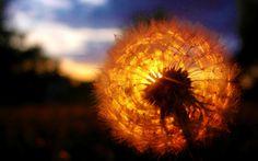 nice dandelion sunset wallpaper