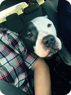 Decatur, GA - American Bulldog/Labrador Retriever Mix. Meet Dunker *Super-Duper Dog*, a dog for adoption. http://www.adoptapet.com/pet/15643459-decatur-georgia-american-bulldog-mix