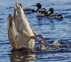 Kyhmyjoutsen syö - Mute swan eating